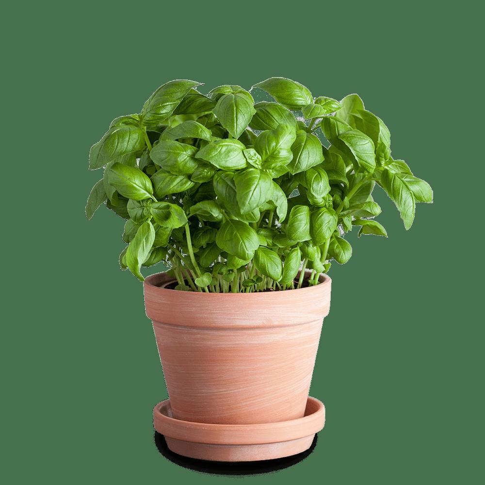 Proizvodnja svežeg zacinskog, lekovitog i aromatičnog bilja